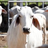 Pecuária sustentável é pecuária produtiva
