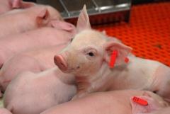 Uso de adsorventes na ração auxilia os suinocultores no combate às micotoxinas
