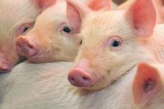 Solução alternativa ao uso de plasma favorece rentabilidade na produção de suínos